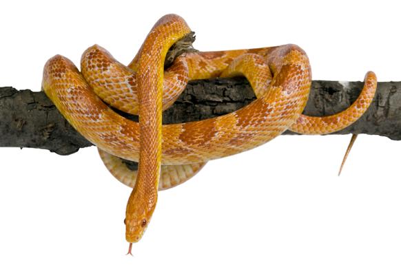 Le terrarium du serpent des blés